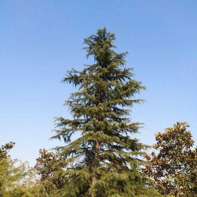 雪松苗木产地微信小程序